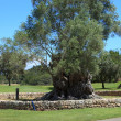 Old walled tree on golf course or park — Stock Photo #31881137