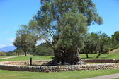 Old walled tree on a golf course or park — Stock Photo