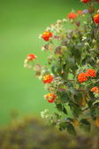 Orange flowers of the marmalade bush — Stock Photo