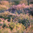 Field of flowering purple heather — Stock Photo