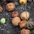 Stock Photo: Old rotten apples on the ground