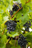 Bunches of black or dark purple grapes — Stock Photo