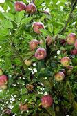 Kırmızı elma ile elma ağacı — Stok fotoğraf