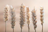 Fresh ears of wheat — Stock Photo