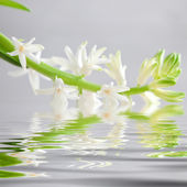 Spray of dainty white flowers reflected in water — Stock Photo
