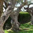 Stock Photo: Gnarled old trees growing in garden