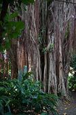 Strangler fig vines on a tree — Stock Photo