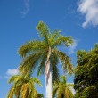 Stock Photo: Tall palm trees against blue sky