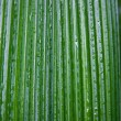 Stock Photo: Wet palm leaf background