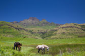 Horses grazing in a mountain paddock — Stock Photo
