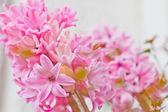 Beautiful fresh pink hyacinth flowers — Stock Photo