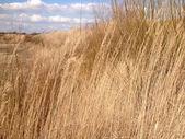 Golden coastal grasses on a dune — Stock Photo