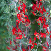 Beautiful spike of vivid red flowers — Stock Photo