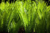 Macro Plenty Sword Fern Growing — Stockfoto