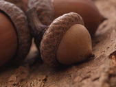 Nature acorn — Stock Photo