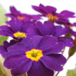 Flower primula — Stock Photo