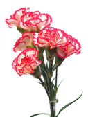 Flower carnations — Stock Photo