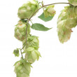 Fresh hop — Stock Photo #31748945