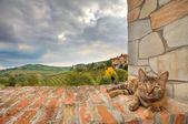 Gato na parede. piemonte, itália. — Foto Stock