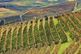 Winnice w upadku. piemontu, włochy. — Zdjęcie stockowe