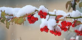 Red berries covered with snow. — Stock Photo