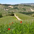 Red poppies and green grass on the hills of Piedmont, Italy. — Foto Stock