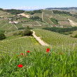 Red poppies and green grass on the hills of Piedmont, Italy. — Stockfoto