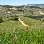 rode papavers en groen gras op de heuvels van Piemonte, Italië — Stockfoto