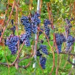 Grapes before harvesting. Piedmont, Italy. — Stock Photo #30665613
