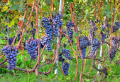 Grapes before harvesting. Piedmont, Italy. — Stock Photo