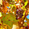 Grape among autumnal leaves in Italy. — Stock Photo