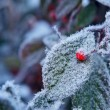 Red berry on frozen leaf. Piedmont, Northern Italy. — Stock Photo