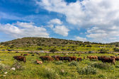 Herd of cows on the pasture. — Stock Photo