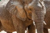 Elefante en el safari. — Foto de Stock