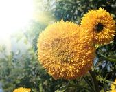 Beautiful sunflower on the sun rise — Stock Photo