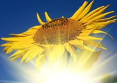 Sunflower over the sun set — Stock Photo