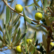 Olive-tree — Stock Photo