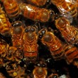 Honey bees — Foto de Stock