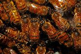 Abejas de miel — Foto de Stock