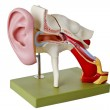 Auditory canal — Stock Photo
