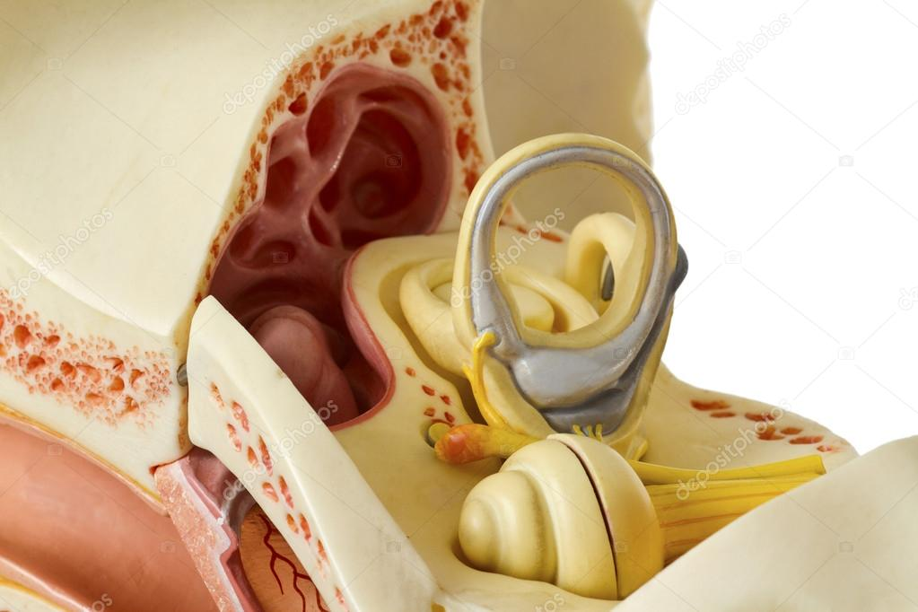 Cross section of human ear on white background — Stock Photo #18325183