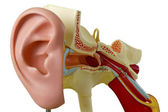 Model from auditory canal — Stockfoto