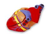 Model heart for medical demonstration — Stock Photo