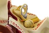 耳朵解剖 — 图库照片