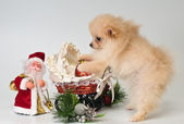 Puppy with Christmas gifts in the studio — Stock Photo