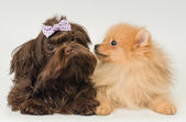 Puppies of a spitz-dog and color lap dog — Stock Photo