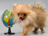 Pomeranian with a school globe — Stock Photo