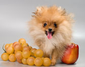 Pomeranian with fruit — Stock Photo
