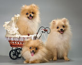 Three puppies with a sidecar — Stock Photo