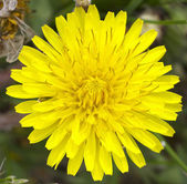 Dandelion Flower Macro — Stock Photo
